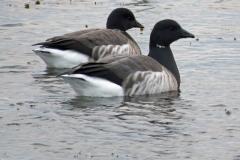 Brent-geese