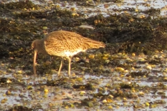 Curlew-1