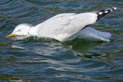 Gull-at-Peel