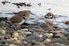 Plover-at-the-Ayres