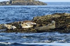 Seals-on-the-Calf-of-Man