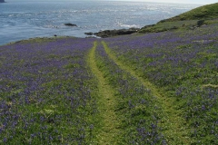 Bluebells-on-the-Calf-of-Man
