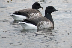Brent-geese