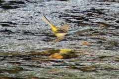 Grey-Wagtail--at-Laxey