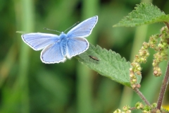 Common-Blue-Isle-of-Man