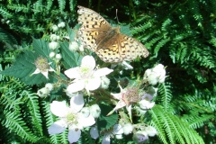 Dark-Green-Fritillary-Isle-of-Man