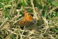 Small-Copper-Isle-of-Man
