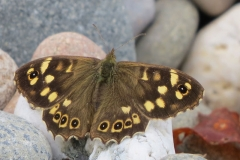 Speckled-Wood-Islle-of-Man