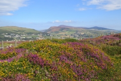 Heather-and-Gorse-on-the-Mull-2