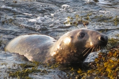 Atlantic-Grey-Seal-Isle-of-Man