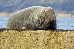 Male-Seal-Isle-of-Man