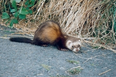 Polecat-Isle-of-Man