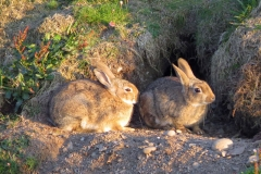 Rabbits-Isle-of-Man