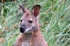 Wallaby-Isle-of-Man-10