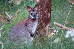 Wallaby-Isle-of-Man-11