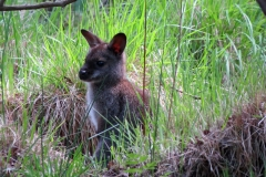 Wallaby-Isle-of-Man-12