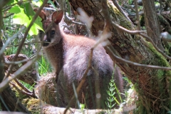 Wallaby-Isle-of-Man-13