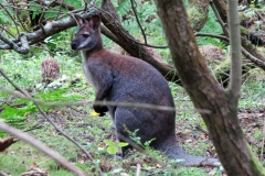 Wallaby-Isle-of-Man-14