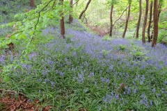 Bluebells-at-Glen-Maye-2