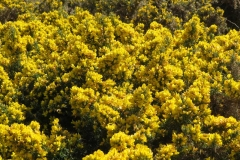 Gorse-Isle-of-Man-2