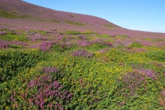 Gorse-and-Heather-near-the-Sloc