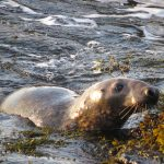 Image of Atlantic Grey seal