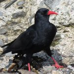 Image of chough bird