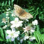 Image of Dark-green fritillary butterfly on a bramble