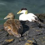 Image of male and female eider birds