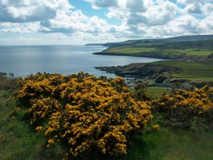 Image looking south from Maughold with gorse in the foreground